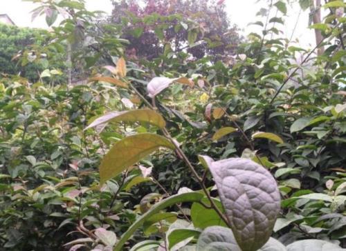 Cây xạ đen được trồng nhiều ở các tỉnh phía Bắc